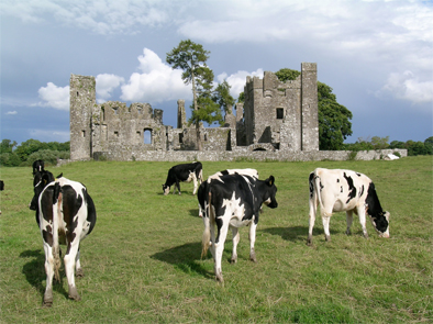 The cows enjoy the return peace and quiet to Bective Abbey.